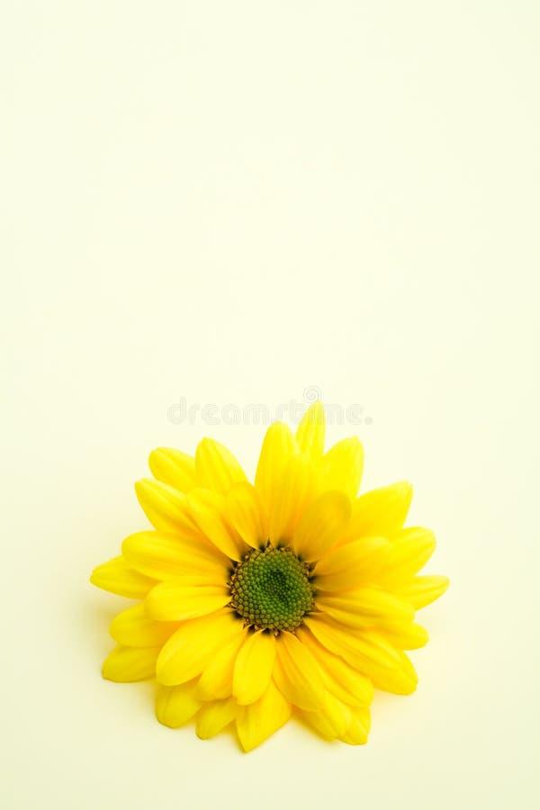 Margherita su colore giallo sottile fotografie stock