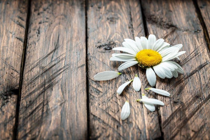 Margherita su un fondo di legno fotografie stock libere da diritti
