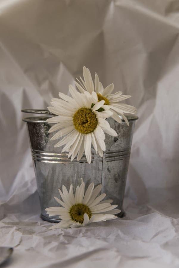Margherite bianche in un piccolo calderone dello zinco sopra un fondo bianco della carta velina sgualcita immagini stock