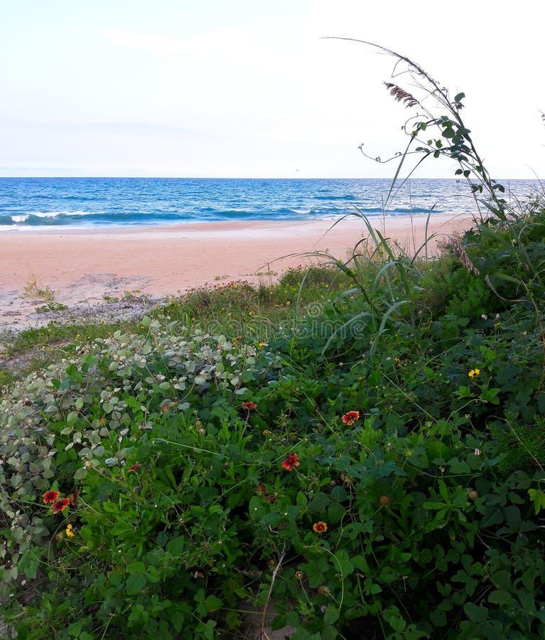 Margherite che crescono selvagge sulle dune di sabbia lungo la costa delle spiagge di Florida in entrata di Ponce e spiaggia di O fotografia stock libera da diritti