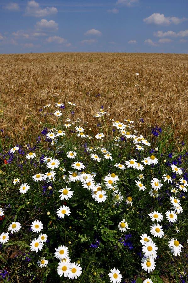 Margherite di fioritura nel field_2 immagine stock