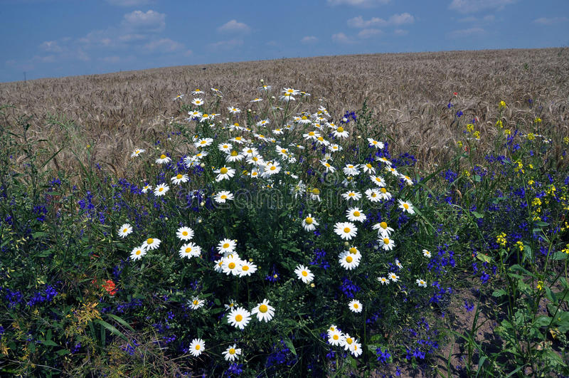 Margherite di fioritura nel field_4 fotografia stock