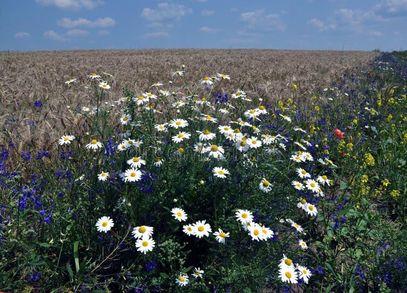 Margherite di fioritura nel field_3 fotografie stock
