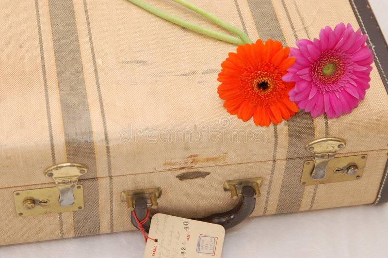 Margherite di Gerber sulla valigia fotografie stock libere da diritti