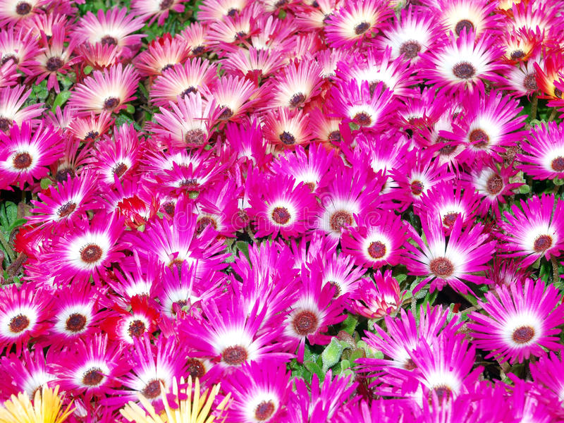 Margherite di Livingstone (criniflorum del Mesembryanthemum) immagini stock