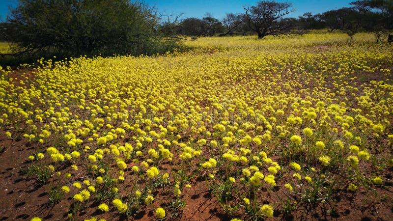 Margherite eterne di giallo indigeno dei wildflowers di Australia occidentale immagini stock