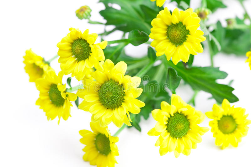 Margherite gialle fotografie stock
