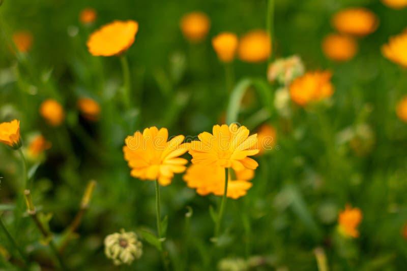MARGHERITE GIALLE Primo piano dei fiori gialli su un fondo confuso verde naturale Bello fiore dorato su erba verde fotografie stock libere da diritti