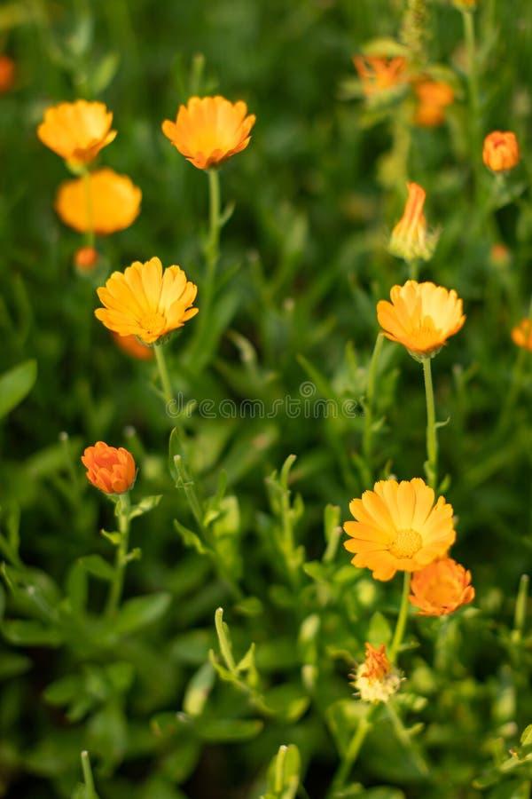 MARGHERITE GIALLE Primo piano dei fiori gialli su un fondo confuso verde naturale Bello fiore dorato su erba verde immagini stock