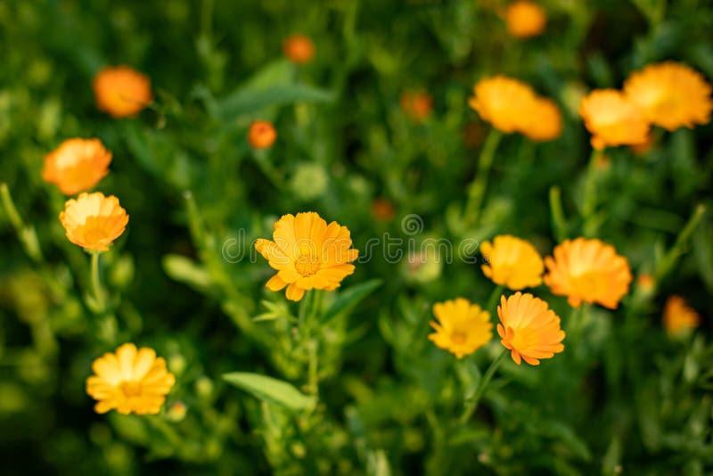 MARGHERITE GIALLE Primo piano dei fiori gialli su un fondo confuso verde naturale Bello fiore dorato su erba verde fotografia stock libera da diritti