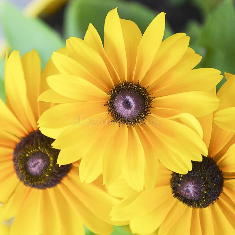 Margherite gialle gialle fotografie stock libere da diritti