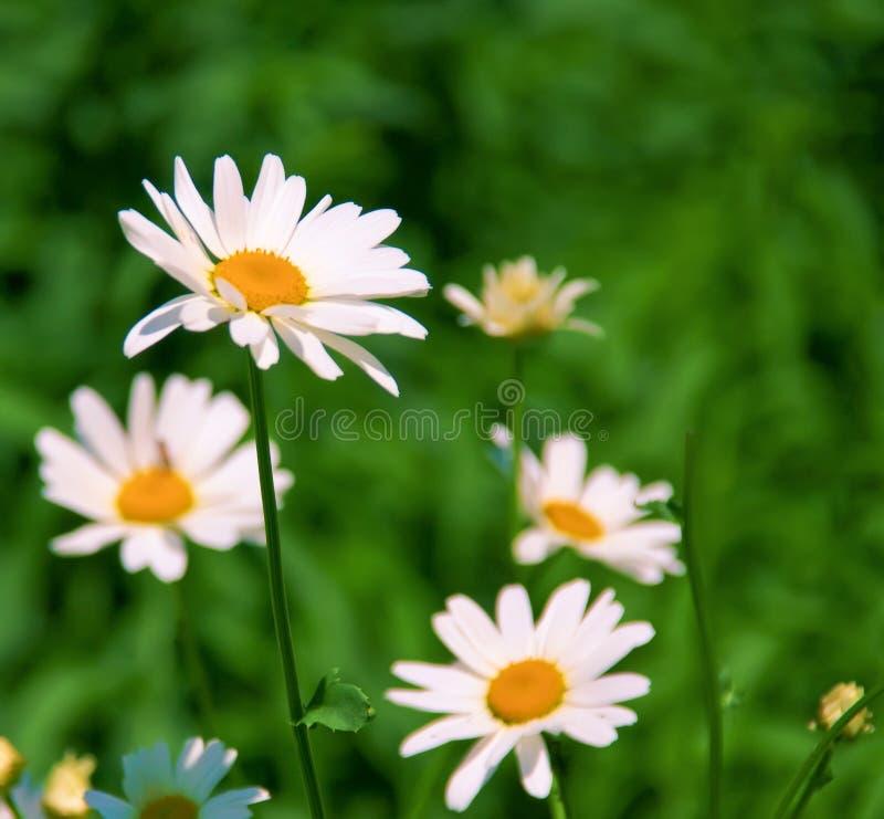 Margherite in natura. fotografie stock libere da diritti