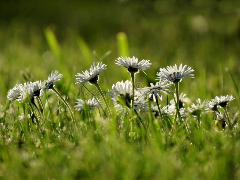 Margherite nell'erba immagini stock