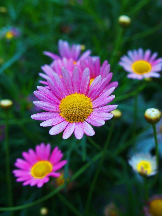 Margherite rosa dolci fotografia stock libera da diritti