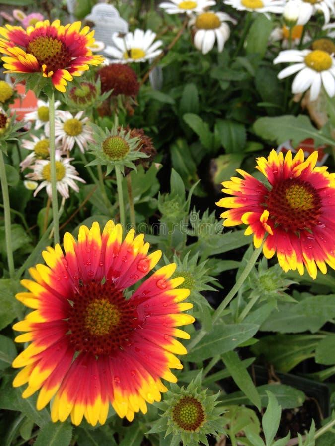 Margherite Rosso-gialle e bianche immagine stock