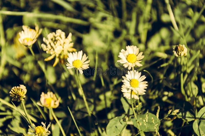 Margherite stupefacente belle sui precedenti di erba verde nel giardino con la tonalità calda fotografia stock