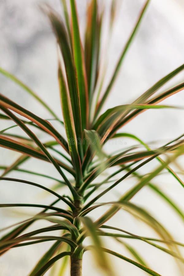 Marginata della dracaena tricolore, o dracena delle Canarie del Madagascar immagine stock libera da diritti