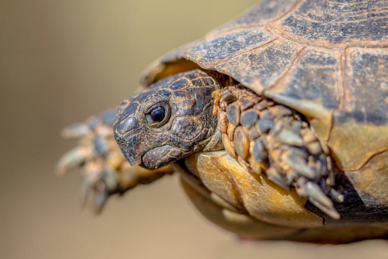 Marginated tortoise head shot stock photo