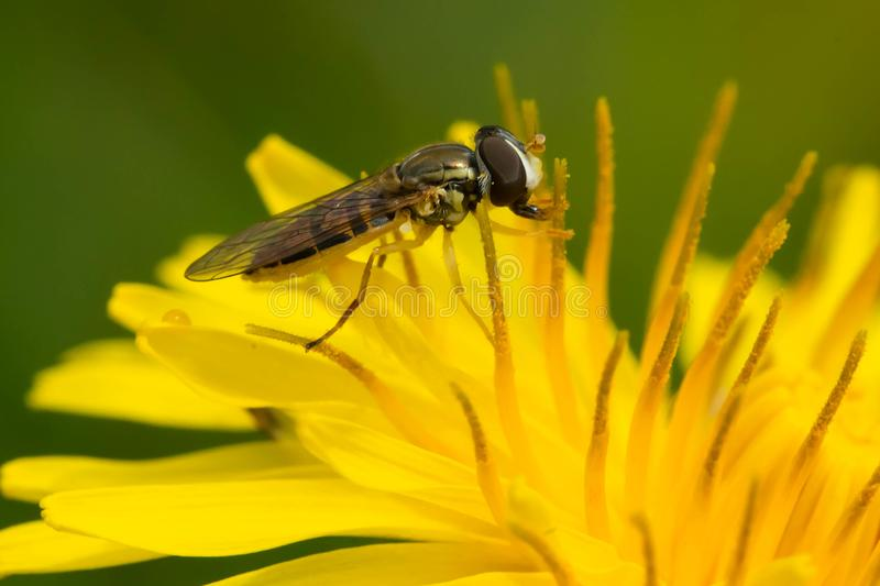 Margined Calligrapher Hover Fly - Toxomerus marginatus. A Margined Calligrapher Hover Fly is collecting nectar from a yellow dandelion flower. Rosetta McClain stock photography
