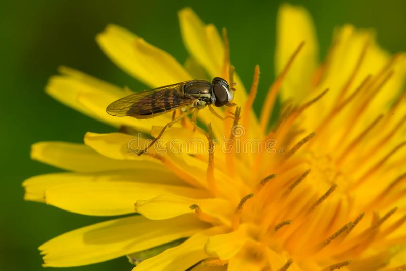 Margined Calligrapher Hover Fly - Toxomerus marginatus. A Margined Calligrapher Hover Fly is collecting nectar from a yellow dandelion flower. Rosetta McClain royalty free stock image