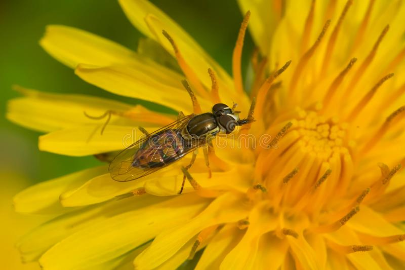 Margined Calligrapher Hover Fly - Toxomerus marginatus. A Margined Calligrapher Hover Fly is collecting nectar from a yellow dandelion flower. Rosetta McClain stock images