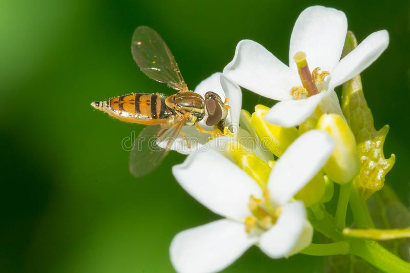 Margined Calligrapher Hover Fly - Toxomerus marginatus. Margined Calligrapher Hover Fly collecting nectar from a Garlic Mustard flower. Ashbridges Bay Park royalty free stock images