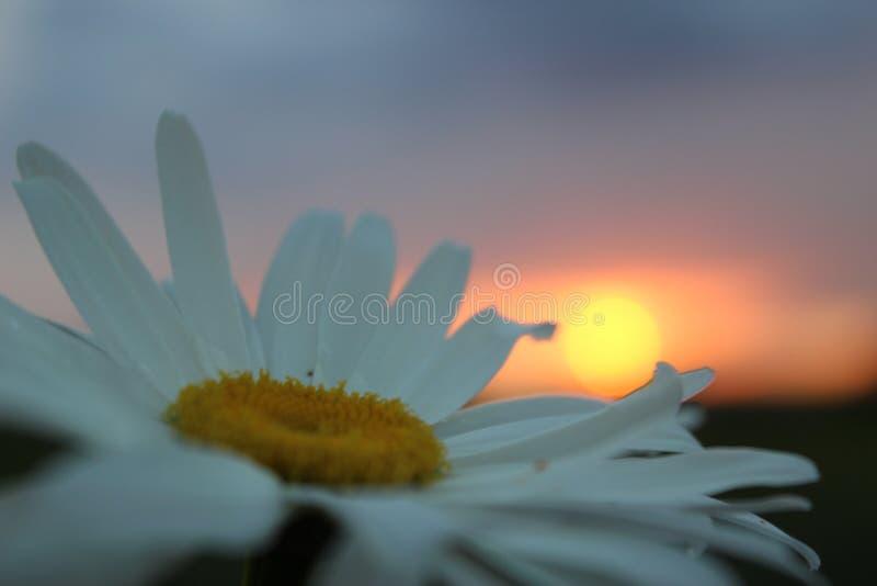 Margriet op de zonsondergangachtergrond royalty-vrije stock foto's