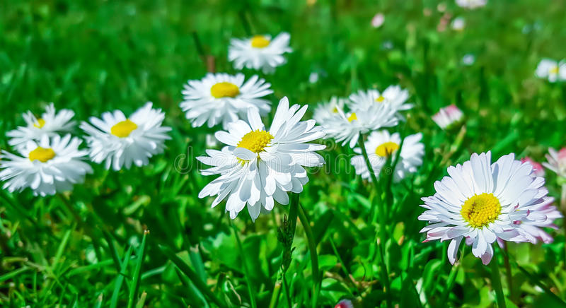 Margrieten in groen gras stock afbeeldingen