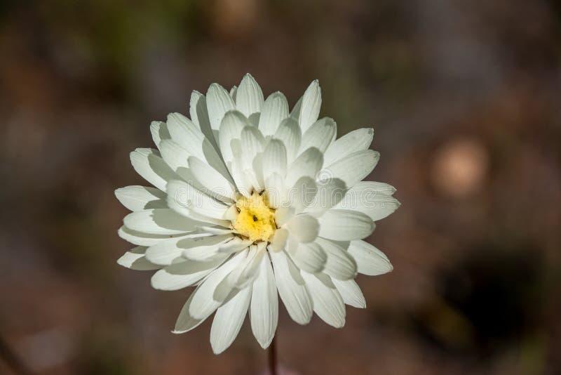 Marguerite éternelle blanche simple de wildflower indigène d'Australie occidentale photos libres de droits