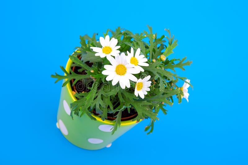 Download Marguerite stock photo. Image of bush, potted, inflorescence - 25305510