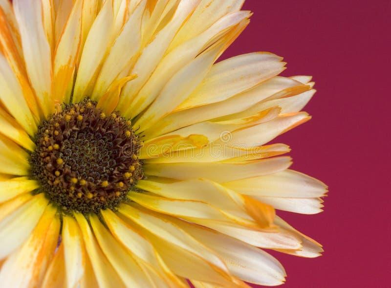 Marguerite photo libre de droits