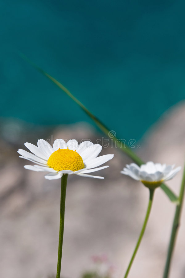 Marguerite. S couple of marguerite flowers at the adriatic coast on the sunny day stock photography