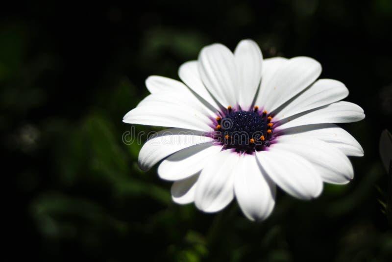 Marguerite photo stock