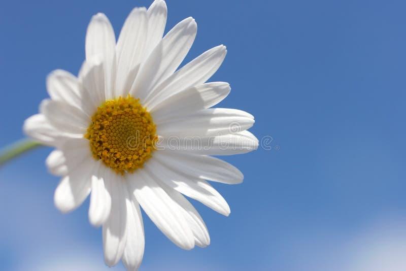 Download Marguerite photo stock. Image du ciel, fleur, nuages, marguerite - 725692