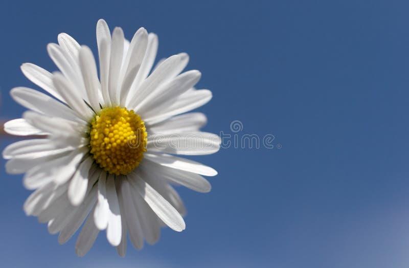 Download Marguerite image stock. Image du nature, fleurs, pétales - 725705