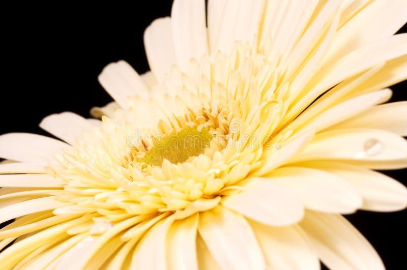 Download Marguerite photo stock. Image du houseplant, cadeau, fond - 745472