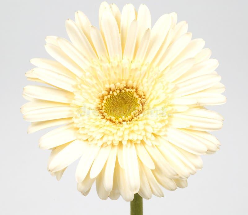 Download Marguerite photo stock. Image du houseplant, lame, beauté - 745506