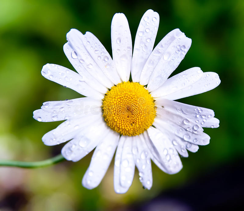 Marguerite. Detail of a flowering marguerite plant stock image