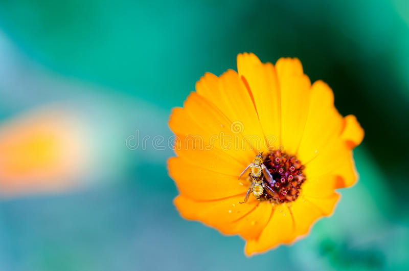 Marguerite africaine photographie stock