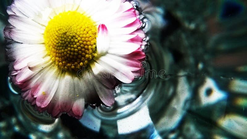Marguerite avec de l'eau clair comme de l'eau de roche photographie stock libre de droits