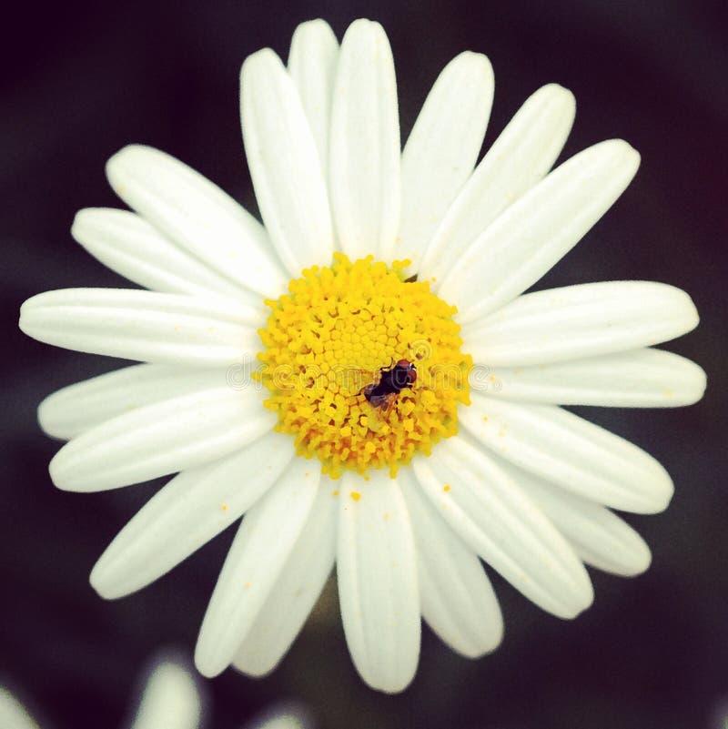 Marguerite avec l'insecte images stock