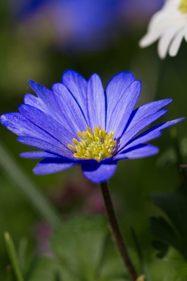 Marguerite azul imagem de stock royalty free