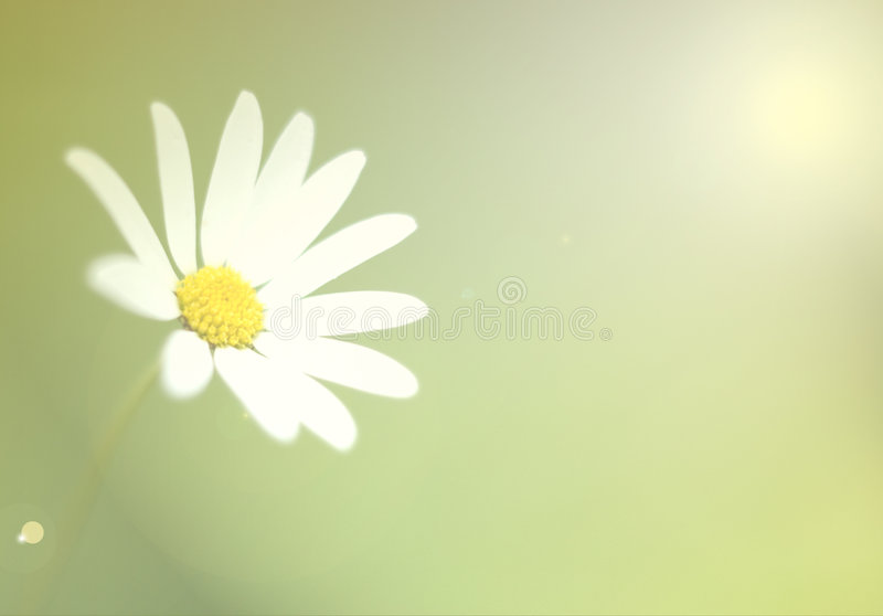 Marguerite blanche photo stock