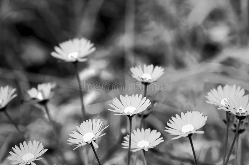 Marguerite blanche infrarouge images stock