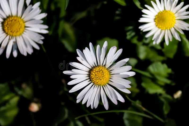 Marguerite blanche sur l'herbe avec le pollen jaune photographie stock libre de droits