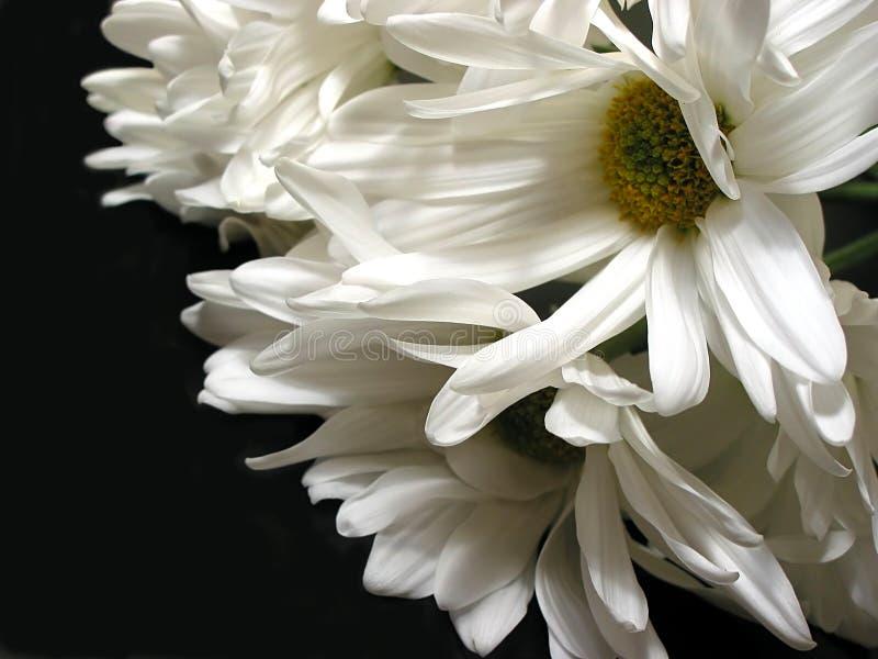 Marguerite blanche sur le fond noir photos stock
