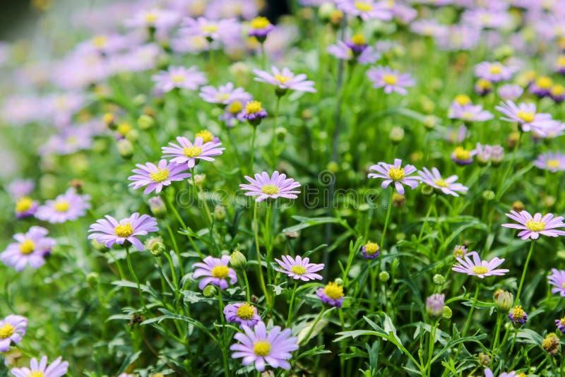 Download Marguerite bleue photo stock. Image du bleu, horizontal - 56486126