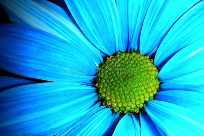Marguerite bleue photo libre de droits