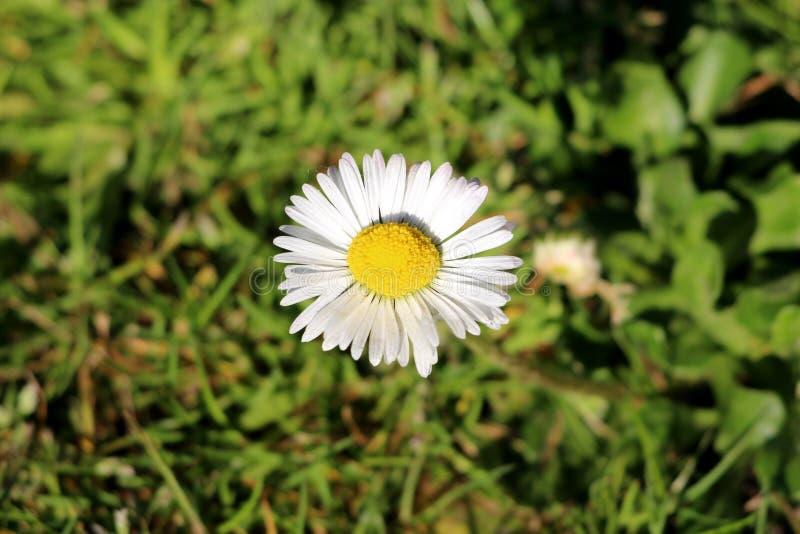 Marguerite commune ou plante vivace herbacée de perennis de Bellis avec les fleurs sessiles contenant les fleurons de rayon blanc image libre de droits