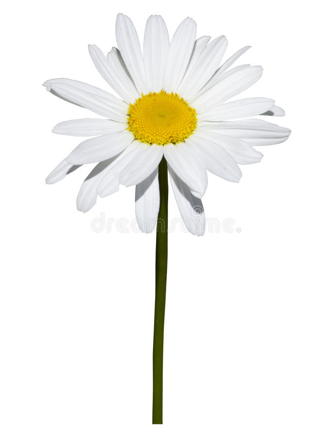 Marguerite d'isolement sur le fond blanc photographie stock